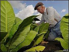 Tobaksodling och en bonde